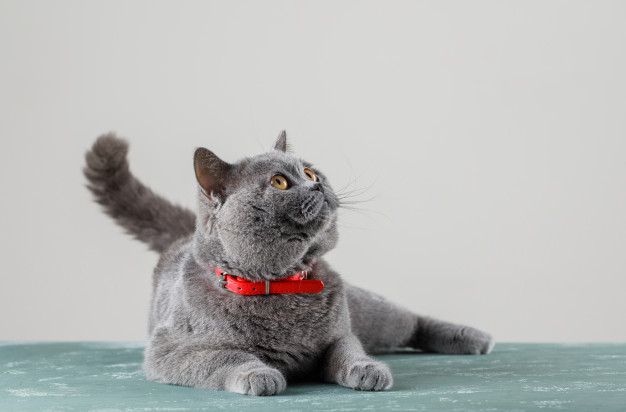 What are FIV and Fev diseases in cats?